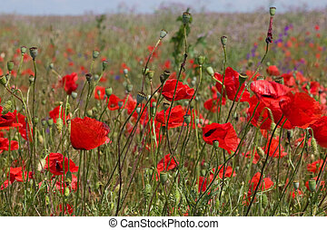 poppy fiels - nature series: red wild poppy spring field
