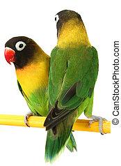 green parrot lovebird - a beautiful green parrot lovebird...