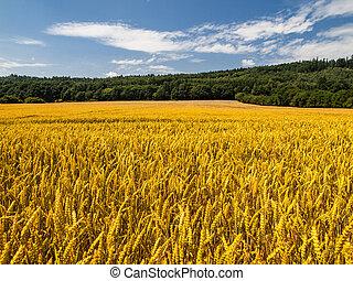 Golden summer field