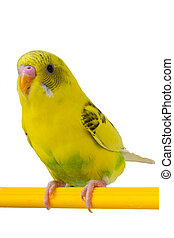 beautiful yellow budgie sitting on a yellow horizontal bar...