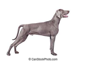 Weimaraner Dog isolated on white with clipping path