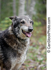 Mixed breed dog in the autumn forest - Mixed breed sdog...