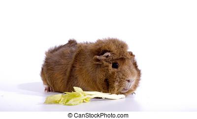 Tawny Guinea Pig - A tawny guinea pig eating a stalk of...