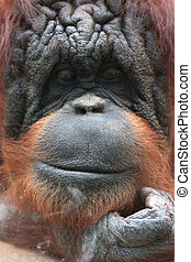 Closeup of bornean orangutan, Pongo pygmaeus, a great ape...