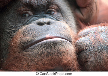 Close-up of bornean orangutan, Pongo pygmaeus, a great ape...