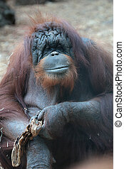 Portrait of bornean orangutan, Pongo pygmaeus, a great ape...