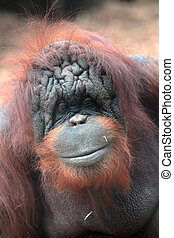 Face of bornean orangutan, Pongo pygmaeus, a great ape...