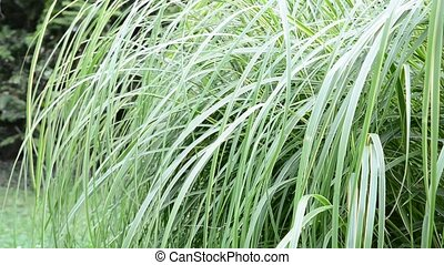 Ornamental grass - Green ornamental grass moving in the wind...