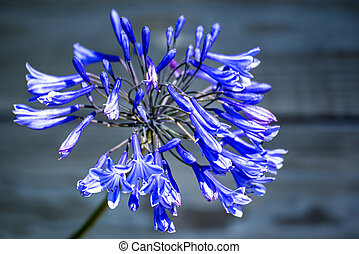Agapanthus, Love flower