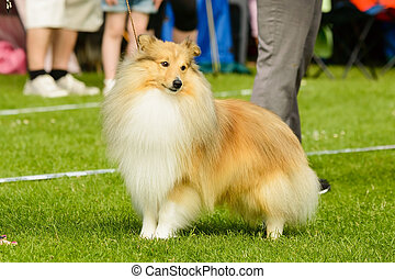 Shetland sheepdog - Brown shetland sheepdog being alerted...