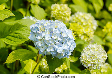 Light blue Hortensia - Light blue Hydrangea macrophylla Also...