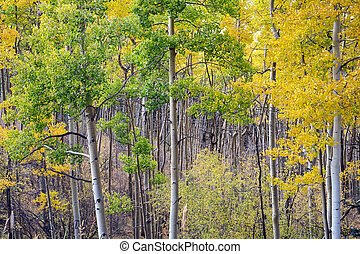 Aspen Grove in Santa Fe National Forest in Autumn - Deep...