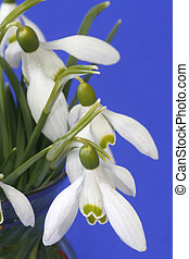 Snowdrops - Close-up of snowdrops over blue background