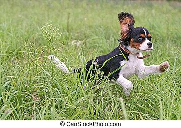 Running Cavalier - Cavalier King Charles Spaniel