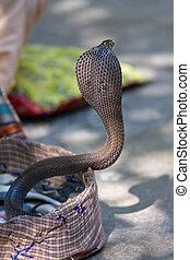 koenig, Kobra, schlange, nördlich, Indien