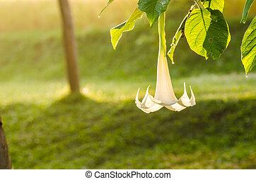 blanco, brugmansia, flor