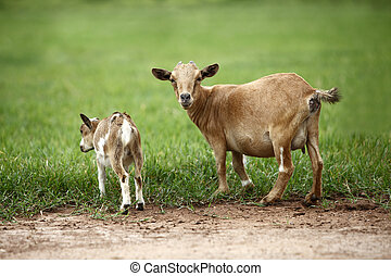 Portrait of african goats looking into the camera
