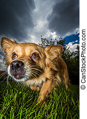 Imminent danger - Small brown mixed breed dog with a wide...