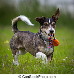 Toys - A Little Dachshund, Terrier Mix raging around in a...