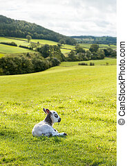 Black and white lamb in meadow