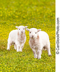 Twin baby lambs in flower meadow - Pair of young baby lambs...