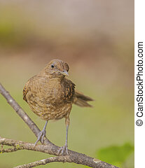 Clay Colored Thrush - Juvenile clay colored thrush, also...