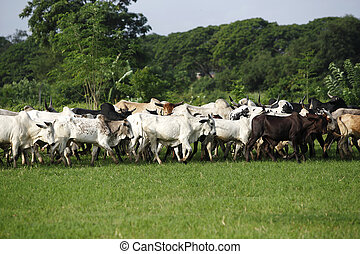 Afrikan cattle between green palms on the way to a new...