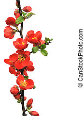 Blossoming twig of Japanese quince