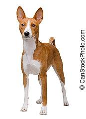 basenji, cão, isolado, branca
