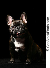 Dark french bulldog on black. - Dark french bulldog poising...