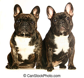 Two dark french bulldogs. Isolated on white
