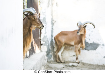 Wild goats in Tozeur Zoo - Two wild african goats kept in a...