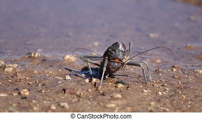 Armoured ground cricket - Close-up of an African Armoured...