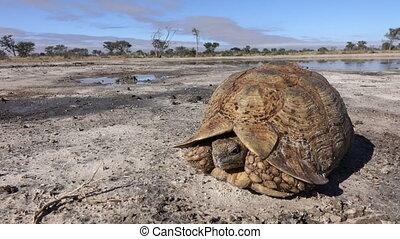 Leopard tortoise - Landscape with leopard tortoise...