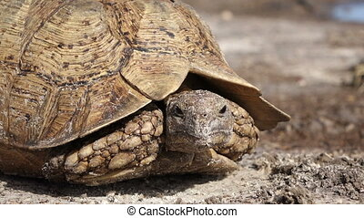 Leopard tortoise - Close-up of a leopard tortoise...
