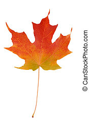 maple leaf in autumn - colorful autumn maple leaf isolated...