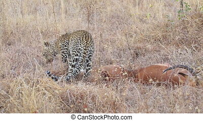 Leopard with prey - A leopard Panthera pardus with its...