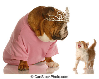 dog and cat fight - spoiled english bulldog with annoyed...