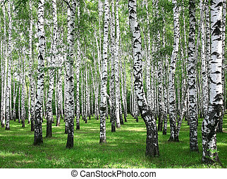 Summer birches