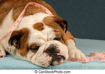 dog on a diet - dog obesity or health - lazy bulldog with...