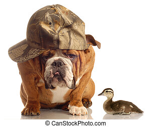 hunting dog - english bulldog with hunting hat sitting...