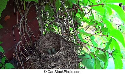 Bird sits on the eggs in the nest.