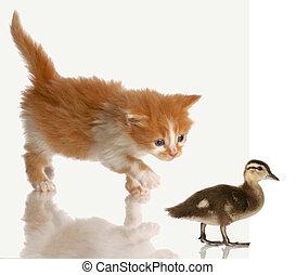 kitten stalking a duck - kitten stalking or hunting a baby...