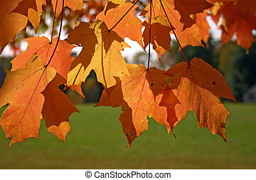 Orange and yellow leaves of sugar maple (Acer saccharum)...