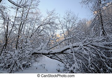 Winter forest - Trees in winter snowy forest