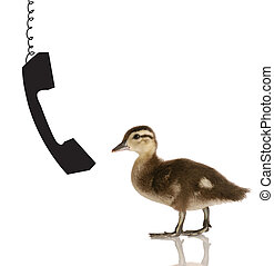 baby duck with phone - baby mallard duck talking on the...