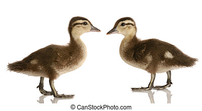 two baby mallard ducks standing looking at each other...