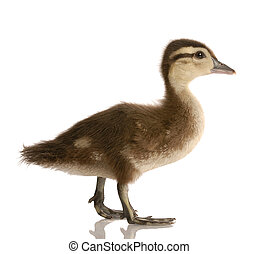 baby mallard duck isolated on white background