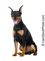 dwarfish, branca, custos,  pinscher