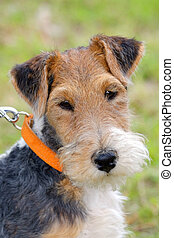 Detail of typical Fox Terrier Wire dog